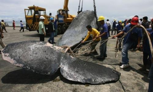В желудке выбросившегося на берег кита нашли 30 кг пластика