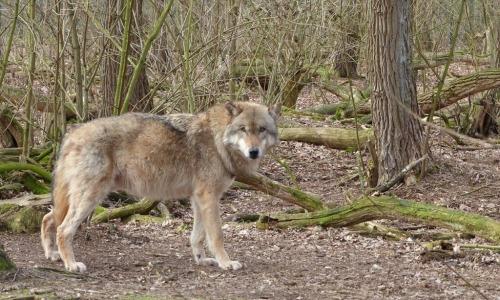 Видео: Волк показал жене лесника, куда пропал ее муж