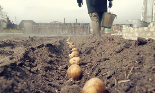 Кому грозит штраф за выращивание картофеля?