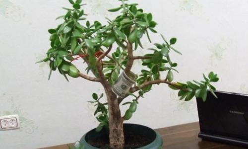Где в квартире установить денежное дерево, чтобы оно приносило богатство