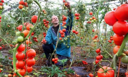 """Собирать помидоры можно будет на месяц раньше, если таким раствором """"угостить"""" грядки"""